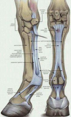 Equine fore limb anatomy