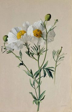 """Albert R. Valentien American art pottery decorator and botanical artist. Watercolor San Diego Natural History Museum Informations About """"Matilija Poppy: Romneya trichocalyx"""" by A Illustration Botanique, Illustration Blume, Botanical Illustration, Vintage Botanical Prints, Botanical Drawings, Botanical Flowers, Botanical Art, Botanical Gardens, Art Floral"""