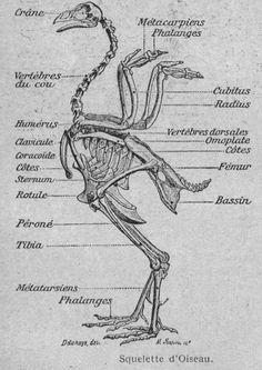 img/dessins ecole primaire anatomie physiologie/Image (99) - Squelette d oiseau.jpg