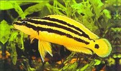Common name: Golden Julie, Ornatus, Ornate Julie  Scientific name: Julidochromis Ornatus