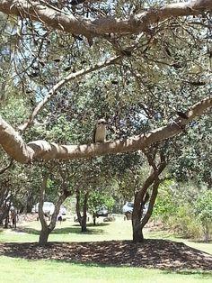 Beautiful kookaburra at kingscliffe ... he wasn't a big fan of bread though much to dannis dismay