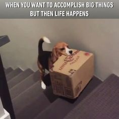 I tried so hard and got so far... (credit: Beagle Lovers Club) #beagle #9gag @9gagmobile