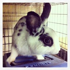 Flicka is a super sweet & friendly 10 month-old male rabbit who was brought to the ARL because his owners were moving & couldn't take him with them. He's available for adoption @ our Boston Adoption Center. #pets #animals #bunnies #rabbits http://www.petharbor.com/pet.asp?uaid=BSTN.A231113