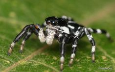 Jumping Spider, Nature Animals, Spiders, Ecuador, Separate, Bugs, Creepy, Butterflies, Insects
