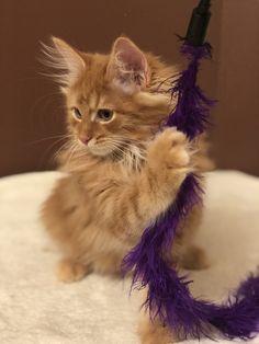 Archie <3 #cute #kurilianbobtail #kittens Bobtail Cat, Cattery, Kittens, Cats, Archie, Animals, Cute Kittens, Gatos, Animales