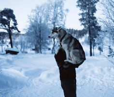 Arctic Love ❄️ #wolfdog