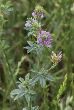 Medicago sativa one our oldest crop plants