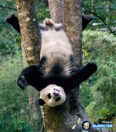 Pandaturnen