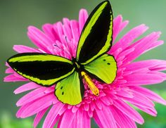 Hot Pink Flower With Neon Green And Black Butterfly  Stunning!