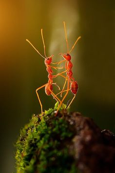 ~~the dancing ants by Rhonny Dayusasono~~. ok so this is what the ants do when they see the label 'Twist to open' on a yummy jam jar . Amor Animal, Mundo Animal, Beautiful Bugs, Amazing Nature, Macro Photography, Animal Photography, Amazing Photography, Beautiful Creatures, Animals Beautiful