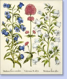 "151 - - Basilius Besler ""Hortus Eystettensis"" Deluxe Edition Hand colored engravings circa 1613 - Joel Oppenheimer Audubon and Natural History Prints"