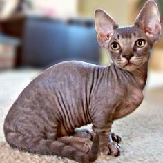 Minskin Cat - http://catbreedsinformation.com/minskin-cat/ For people that are looking for a small sized, short coated cat breed, this is the cat for them. The Minskin Cat is a popular cat breed originally from United States.This cat breed has won over the hearts of their owners with ease. This is because they are very affectionate, curious, and highly intelligent.There are many happy cat owners who claim to have enjoyed the company of their  Minskin Cat for nearly 14 long y