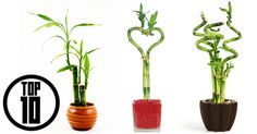 What to keep lucky bamboo in style ? Here are 10 lucky choices - Top 10 Plants - NurseryLive Wikipedia