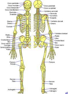 Risultati immagini per composizione ossa
