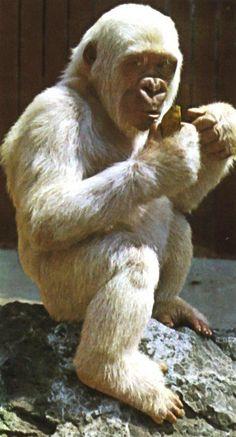 Snowflake Albino Gorilla