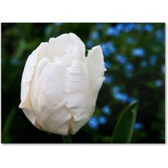 Trademark Fine Art White Parrot Tulip II Canvas Art by Kurt Shaffer, Size: 14 x 19, Multicolor