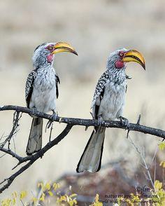 Hornbills, Namibia | Judylynn Malloch on 500px