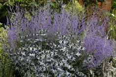 Eryngium, otherwise sea holly, blue thistle or eryngo, in the Sundial Garden of Hatfield House in Hertfordshire, England.