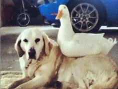 The odd couple: Dog and duck make unlikely best friends | Good News - Yahoo! News Canada