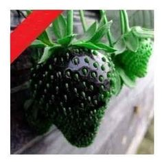 Grow your own black strawberries.. what