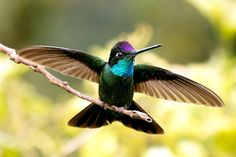Bellas Aves de El Salvador: Eugenes fulgens (colibrí magnífico)