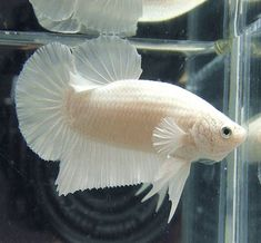 #fishtank #aquarium #freshwater #aquariumplants #aquaticplants #aquascape Catalogo BETTAS Superbeta.com.mx catalogo