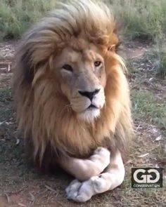 This State Is Considering A Ban On Declawing Cats White Male Lion ; Amazing Animals, Majestic Animals, Animals Beautiful, Cute Baby Animals, Animals And Pets, Funny Animals, Wild Animals Videos, Big Cats, Cute Cats