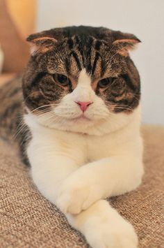 Scottish Fold 05/Cat Tail Ikoma, via Flickr.