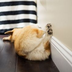 Find Out More On Fun Pembroke Welsh Corgis Dgas Health pembroke welsh corgi Pembroke Welsh Corgi Puppies, Corgi Dog, Corgi Funny, Cute Corgi, Corgi Sleeping, Animals And Pets, Cute Animals, Baby Animals, Corgi Facts