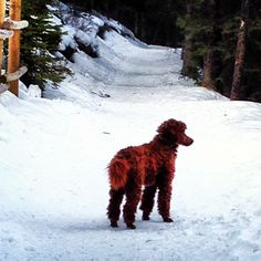 Poodle hikes in Banff AB