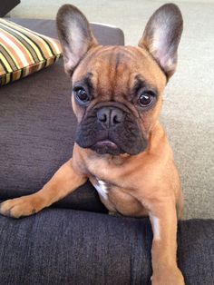 """Where's my Breakfast, Human"", hungry French Bulldog Puppy."