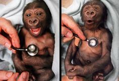 A newborn baby gorilla at Melbourne Zoo gets a checkup at the hospital and shows surprise at the coldness of the stethoscope.