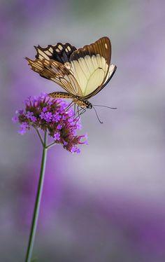 Mocker swallowtail by rvtn**