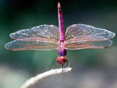 Iridescent PINK dragonfly