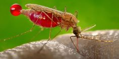 Mosquitoes pose a risk of spreading Zika Virus