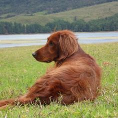 Love you, boy! Adorable Puppies, Cute Dogs, Baby Puppies, Dogs And Puppies, Red And White Setter, Irish Setter Dogs, Gordon Setter, Kinds Of Dogs, Red Dog