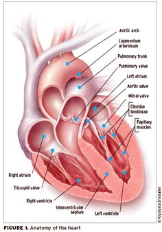 human heart anatomy is a part of human body, which have function, Muscles