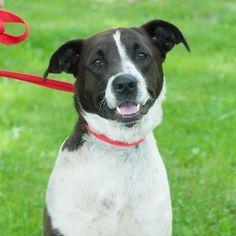 07/14/14 sl ~~Duke Boxer Mix • Adult • Male • Large Wetzel County Animal Shelter New Martinsville, WV
