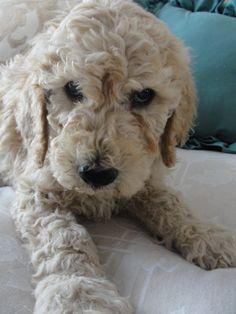 Standard Poodle Puppy  como mi bebe hermoso