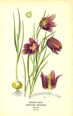 Antique print: picture of Snake's Head (Fritillaria meleagris) - Europe