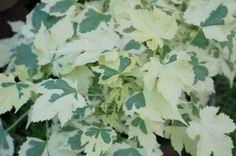Abutilon hybrida Lucky Lantern Red PPAF | Horticultural Marketing Associates