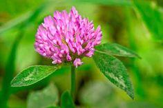 El trébol rojo, por su alto contenido en isoflavonas, es útil para tratar los síntomas de la menopausia.