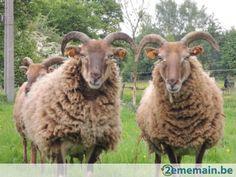Castlemilk Moorit Sheep Breeds, Fiber Art, Spinning, Goats, Art Projects, Wool, Sweet, Animals, Sheep