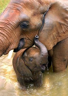 ~~one-year-old African elephant calf swims with his mother | NatGeo~~