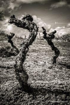 Hippocampes à forme de ceps, la mer s'est retirée depuis longtemps. Reste les sentinelles aux bois de velours ondulants imperceptiblement pour dessiner un passage. Elles sont les antiques gardiennes de ton avenir fuyant l'hiver. Demain leurs racines verront le jour pour une nuit sans soleil. Il nous restera le vin et tous nos souvenirs. BT