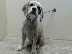 SAFE 1/26/15 (by Abandoned Angels Cocker Spaniel Rescue) --- Brooklyn Center  TOBY - A1025642  NEUTERED MALE, TAN / WHITE, COCKER SPAN MIX, 5 yrs OWNER SUR - EVALUATE, HOLD RELEASED Reason MOVE2PRIVA  Intake condition EXAM REQ Intake Date 01/16/2015 https://www.facebook.com/Urgentdeathrowdogs/photos/pb.152876678058553.-2207520000.1421691726./946287612050785/?type=3&theater