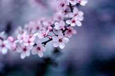 Cherry Blossoms | Flickr - Photo Sharing!