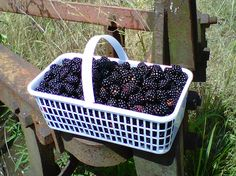 Fresh Alabama Blackberries from Cullman County.  A cobbler made from these absolutely can't be beat!