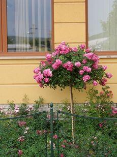 NEMES NAGY ÁGNES : RÓZSAFA - Leírások - Család, barátok, rózsák, szerelem, szeretet magazin - Hotdog.hu