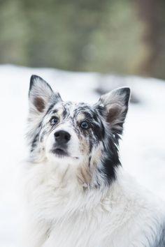 ©Jennifer Lourie Photography | winter lifestyle dog portraits, dog photography, Australian Shepherd in snow: